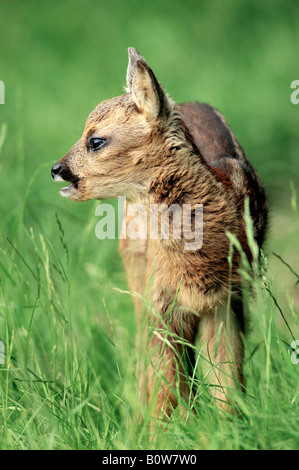 Roe Deer (Capreolus capreolus), fawn - Stock Photo