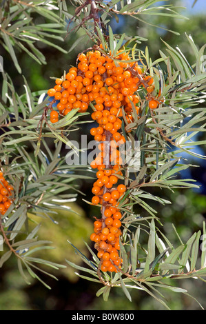 Sea Buckthorn (Hippophae rhamnoides), branch with berries Stock Photo