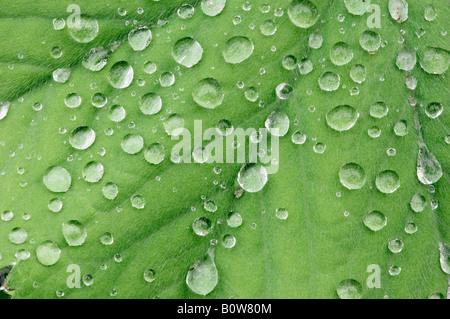Lady's Mantle (Alchemilla mollis), water drops on leaf - Stock Photo
