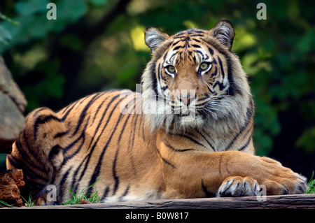 Sumatran Tiger (Panthera tigris sumatrae) Stock Photo