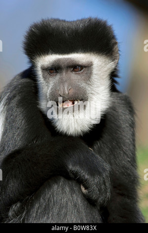 Mantled Guereza or Eastern Black-and-white Colobus Monkey (Colobus guereza) - Stock Photo