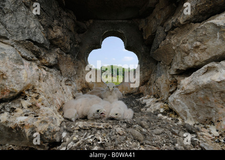 Common Kestrel (Falco tinnunculus), six chicks in a nest in a church steeple - Stock Photo