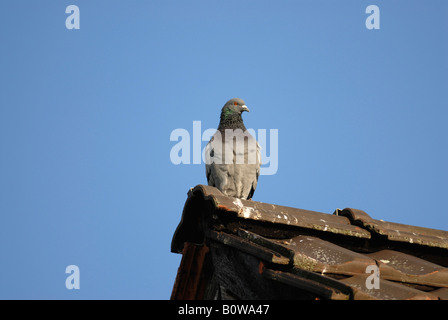 Rock Pigeon or Domestic Pigeon (Columba livia domestica) perched on a roof gable - Stock Photo