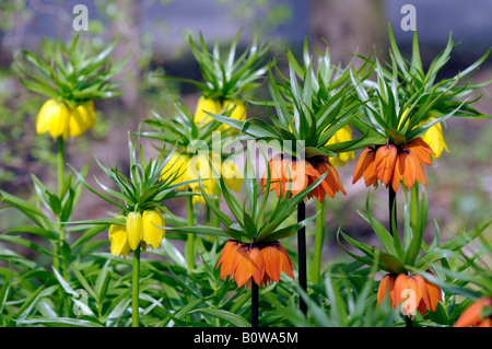 Crown Imperial or Kaiser's Crown (Fritillaria imperialis) - Stock Photo