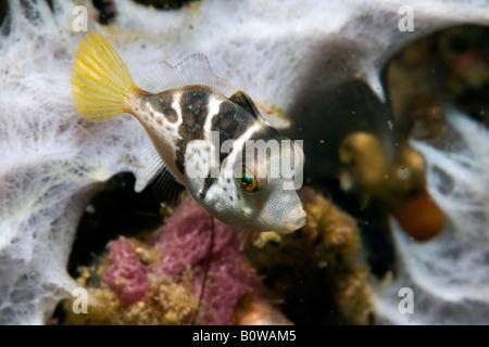 Valentinni's Sharpnose Puffer or Black Saddled Toby Pufferfish (Canthigaster valentini), poisonous fish, colouration imitated b