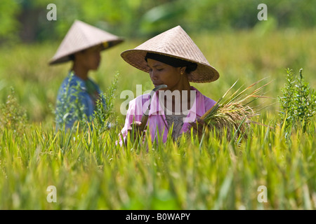 Rice farmers, female, harvesting rice, holding rice in her hand, Lombok Island, Lesser Sunda Islands, Indonesia - Stock Photo