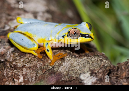 Madagascan Lined, White-Lined or Spotted Reed Frog (Heterixalus punctatus), Madagascar, Africa - Stock Photo