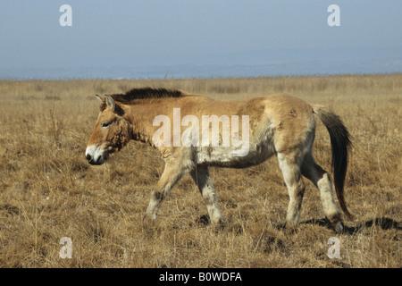 Przewalski's Horse (Equus ferus przewalskii), Burgenland, Austria - Stock Photo