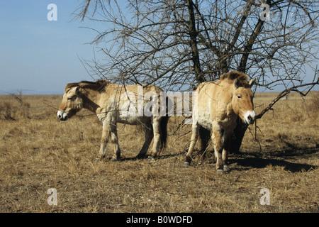 Przewalski's Horses (Equus ferus przewalskii), Burgenland, Austria - Stock Photo