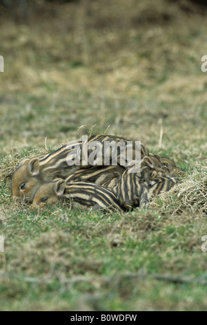 Wild Boar piglets (Sus scrofa), asleep - Stock Photo
