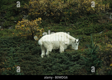 Rocky Mountain Goat (Oreamnos americanus), Jasper National Park, Alberta, Canada - Stock Photo