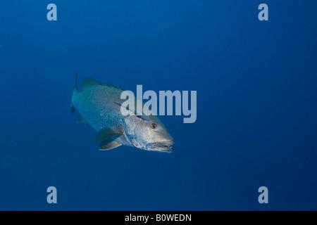 Twinspot or Two-spot Red Snapper (Lutjanus bohar), Honduras, Caribbean - Stock Photo
