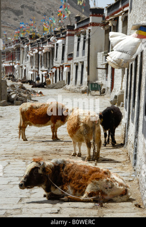 Cattle standing and lying on a road, characteristic houses in the historic centre of Gyantse, Tibet, China, Asia - Stock Photo