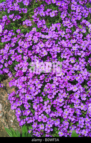 large flowered aubrieta rock cress or rockcress aubrieta x stock photo royalty free image. Black Bedroom Furniture Sets. Home Design Ideas