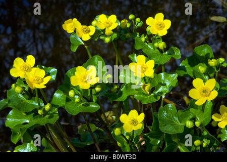 Flowering Kingcups or Marsh Marigolds (Caltha palustris) - Stock Photo