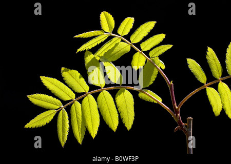 European Rowan leaves, Mountain Ash, (Sorbus aucuparia), spring foliage, shoots, backlight, photosynthesis - Stock Photo
