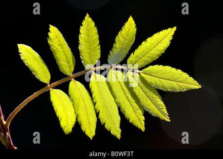 European Rowan leaves, Mountain Ash, (Sorbus aucuparia), spring foliage, shoots, backlight, photosynthesis - Stock Photo