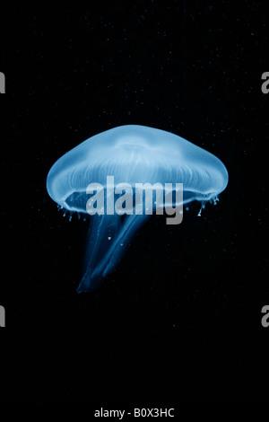 A moon jellyfish (Aurelia Aurita) Berlin, Germany - Stock Photo