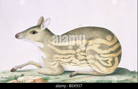 Moschiola meminna, Indian spotted chevrotain illustration - Stock Photo