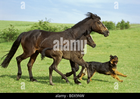 Connemara pony foal with mare and halfbreed dog - Stock Photo