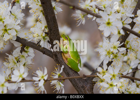 European treefrog, common treefrog, Central European treefrog (Hyla arborea), single animal on a blooming cherry - Stock Photo