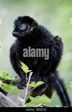 Sclater's Maki, Blue-eyed Lemur (Eulemur macaco flavifrons, Lemur macaco flavifrons), male sitting on branch - Stock Photo