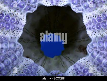 shore sea urchin, shore urchin, purple-tipped sea urchin (Psammechinus miliaris), Sea-urchin exoskeleton from a - Stock Photo