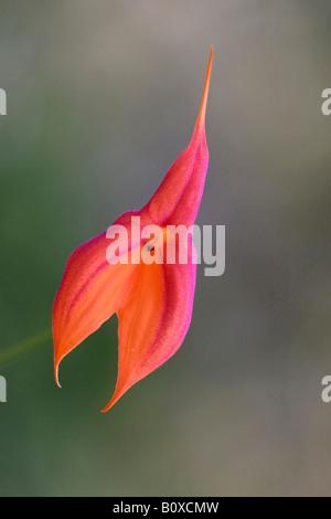 Masdevallia  (Masdevallia veitchii), flower, NRW - Stock Photo