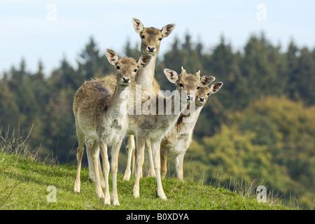 four Fallow deer - standing on meadow / dama dama - Stock Photo