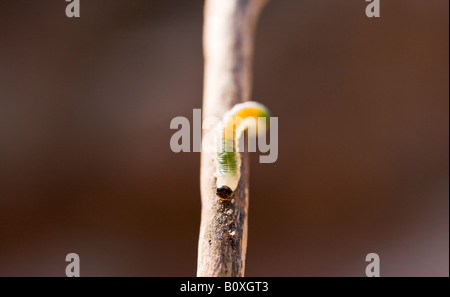 A macro image of a small green and yellow caterpillar crawling down a short twig with a deep brown backdrop. - Stock Photo