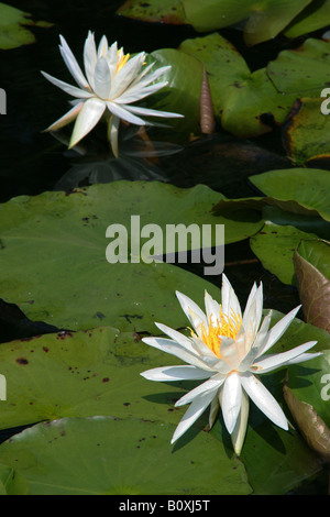Fragrant White Water Lily Nymphaea odorata, South Carolina USA - Stock Photo