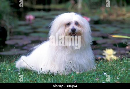 Coton de Tulear (Canis lupus familiaris) on grass - Stock Photo