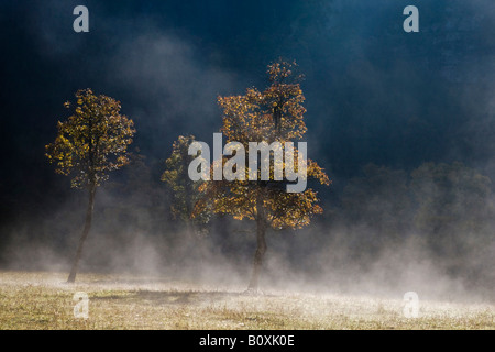 Austria, Tirol, Karwendel, Field maple tree in early morning mist