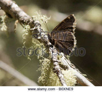 Mourning Cloak Nymphalis antiopa Butterfly  Nymphalidae Subfamily Nymphalinae - Stock Photo