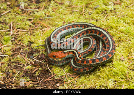 California Red sided Garter Snake Thamnophis sirtalis infernalis California United States. Sometimes known as Thamnophis - Stock Photo