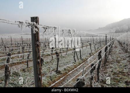 grape-vine, vine (Vitis vinifera), vine yard near Bad Duerkheim with hoar frost, Germany, Rhineland-Palatinate, - Stock Photo
