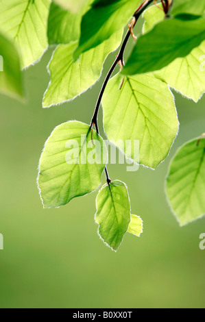 beech sprouts common european beech fagus sylvatica native english deciduous