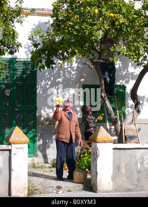 lemon (Citrus limon), family harvesting lemons in front yard of their house, Spain, Majorca, Alcudia - Stock Photo