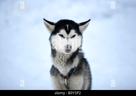 Siberian husky, portrait - Stock Photo