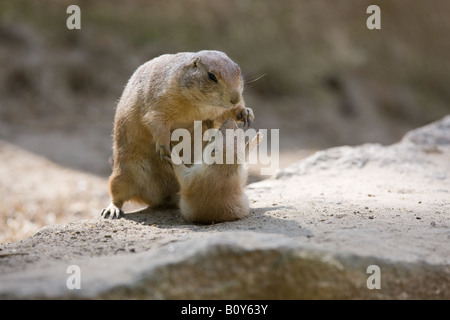two black tailed Prairie dogs having a little fight - Cynomys ludovicianus - Stock Photo