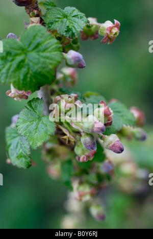 Blackcurrant flowers - Stock Photo