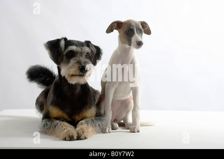 Mixed Breed Dog and Whippet puppy 11 weeks - Stock Photo