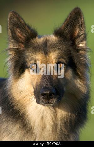 German Shepherd (Alsatian) close-up - Stock Photo