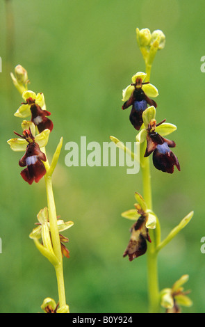 fly orchids / Ophrys insectifera - Stock Photo