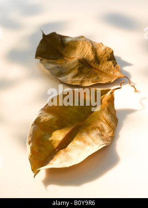 Two dried rubber fig leaves (Ficus elastica), close up - Stock Photo
