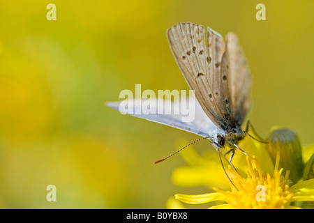 Common blue butterfly (Polyommatus icarus) resting on flower - Stock Photo