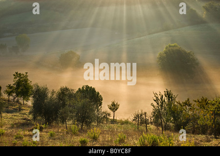 Italy, Tuscany, Olive trees in morning mist - Stock Photo