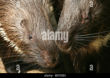 African porcupine, crested porcupine (Hystrix cristata), portrait of two individuals - Stock Photo