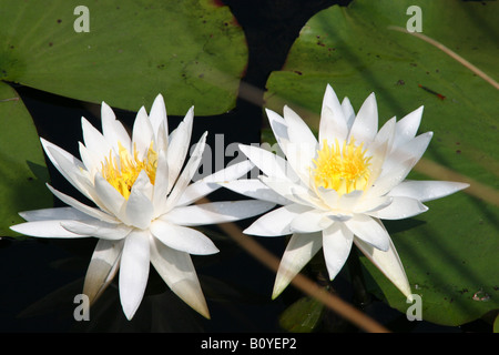 Fragrant White Water Lily Nymphaea odorata North America - Stock Photo