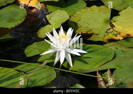 Fragrant White Water Lily Nymphaea odorata - Stock Photo